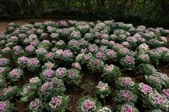 菜园在夏天 草本,花 友好的Eco cabbag 图库摄影