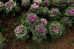 菜园在夏天 草本,花 友好的Eco cabbag 库存图片