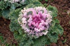 菜园在夏天 草本,花 友好的Eco cabbag 免版税库存图片