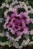 菜园在夏天 草本,花 友好的Eco cabbag 库存照片