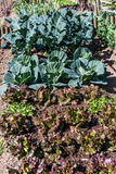 菜园用嫩卷心菜 库存照片