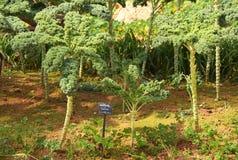 菜园的抱子甘蓝植物 库存图片