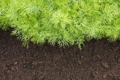 菜园的年轻莳萝植物 莳萝收获照片eco烹调法事务的 有选择性的软的焦点 抗氧化厨房 免版税图库摄影