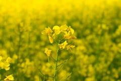 菜子接近的看法在绽放的在黄色背景 免版税库存照片