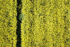 菜子的一个黄色领域 免版税库存照片