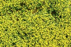 菜子的一个黄色领域 免版税库存图片
