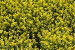 菜子的一个黄色领域 库存照片