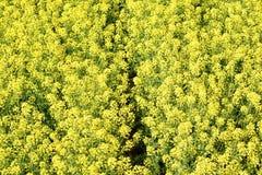 菜子的一个黄色领域 图库摄影