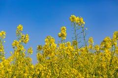 06 12 2011年菜子以后的花在哪里安置做的leidschendam荷兰照片安置 库存照片