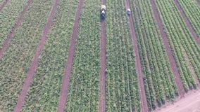 菜怎么在领域增长 蕃茄,夏南瓜,黄瓜,茄子,土豆在领域增长 的帮助的 股票视频
