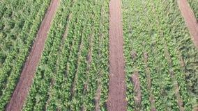 菜怎么在领域增长 蕃茄,夏南瓜,黄瓜,茄子,土豆在领域增长 的帮助的 股票录像