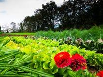菜植物在庭院里增长 免版税库存照片