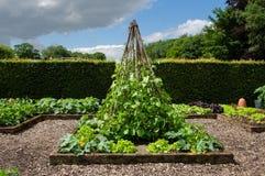 菜豆属coccineus -红花菜豆-菜园-英国 免版税库存图片