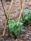 菜豆年轻茎在杆的 库存照片