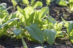 菠菜在浇灌以后在庭院里 库存照片