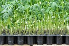 菠菜幼木植物 免版税库存图片