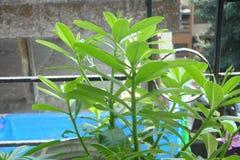 菠菜植物 免版税图库摄影