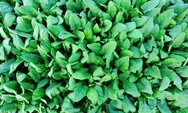菠菜种植园 库存照片