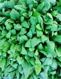 菠菜种植园 免版税库存图片