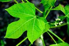 菠菜结构树 库存图片