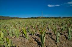 菠萝农场 库存图片