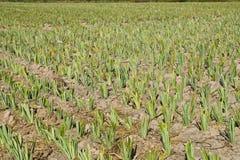 菠萝农场 免版税图库摄影