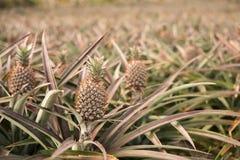 菠萝农场 免版税库存图片