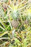 菠萝农场 库存照片