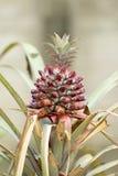 菠萝在树的庭院里 免版税库存图片