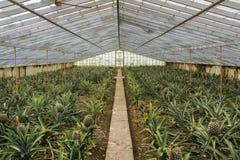 菠萝在温室里 图库摄影