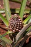 菠萝工厂年轻人 免版税图库摄影