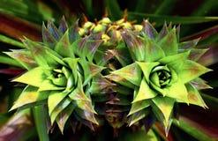 菠萝树双头  免版税库存图片