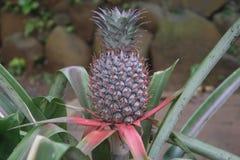 菠萝树 免版税库存照片