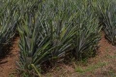 菠萝热带水果 免版税库存图片