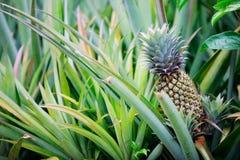 菠萝生长 免版税库存图片