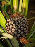 菠萝生长 免版税图库摄影