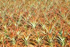 菠萝种植园 图库摄影