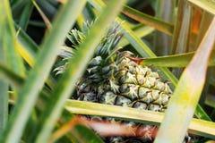 菠萝种植有顶视图 免版税图库摄影