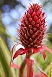 菠萝红色 库存图片