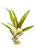菠萝芽 免版税库存照片