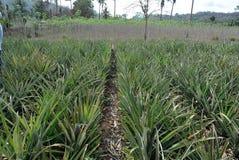 菠萝领域在泰国 库存图片