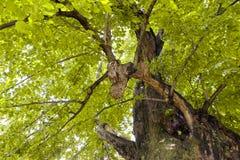 菩提树一千年 库存照片