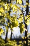 菩提树叶子 图库摄影