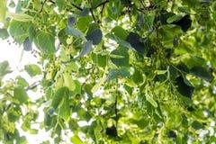 菩提树在开花初分支反对蓝天 图库摄影
