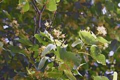 菩提树开花的分支  图库摄影