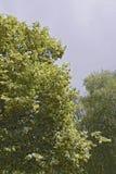 菩提树开花的分支  库存图片