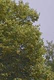 菩提树开花的分支  免版税库存图片