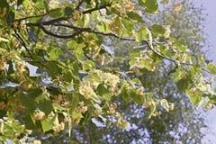 菩提树开花的分支  库存照片