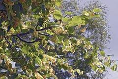 菩提树开花的分支  免版税库存照片