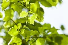 菩提树新鲜的叶子  免版税图库摄影